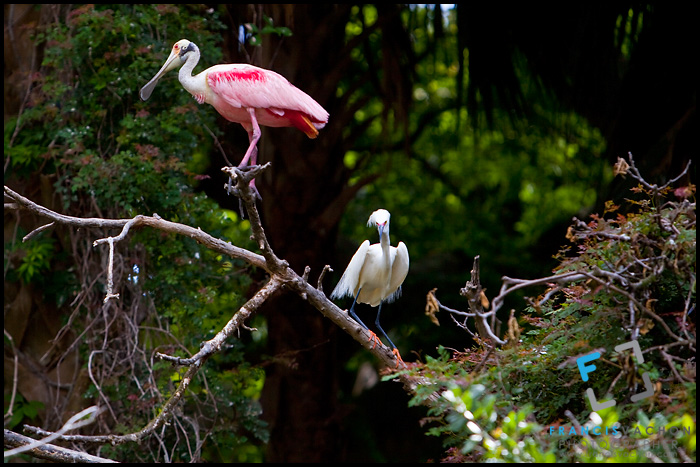 Roseate spoonbill and snowy egret, St. Augustine Alligator farm Zoological Park