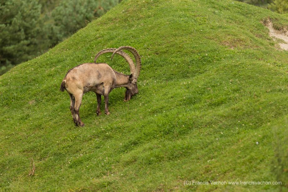 Yanghir (Siberian ibex)
